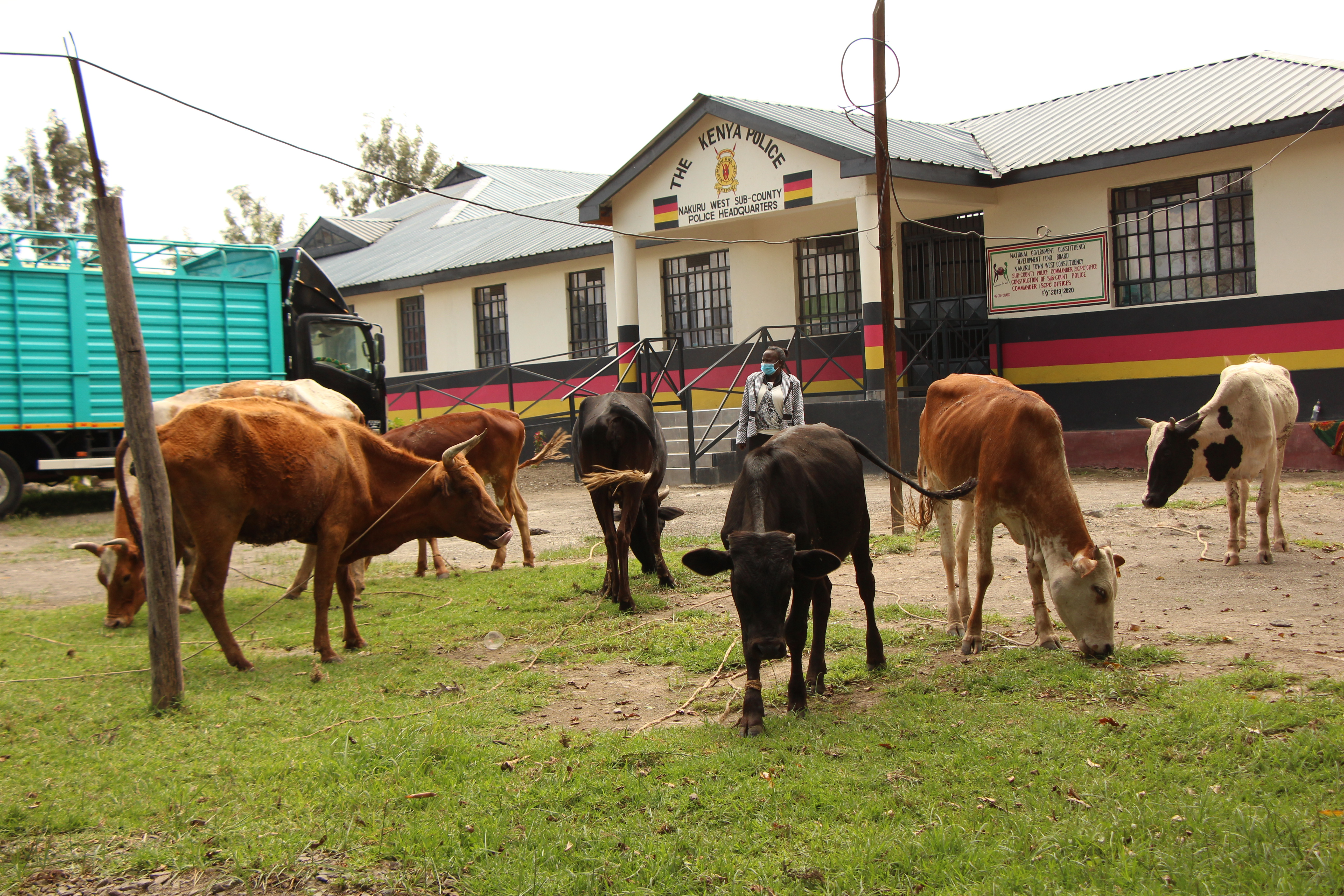 Maafisa wapata ng'ombe kadhaa walioibwa kutoka Nakuru wakasafirishwa hadi Kakamega